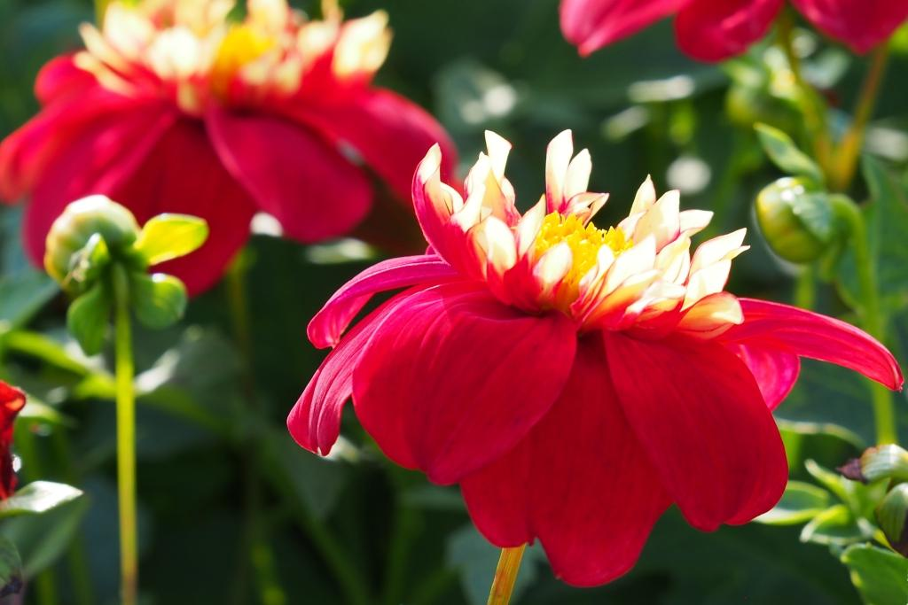 Natural Bulbs: Dahlia 'Impression Festivo'