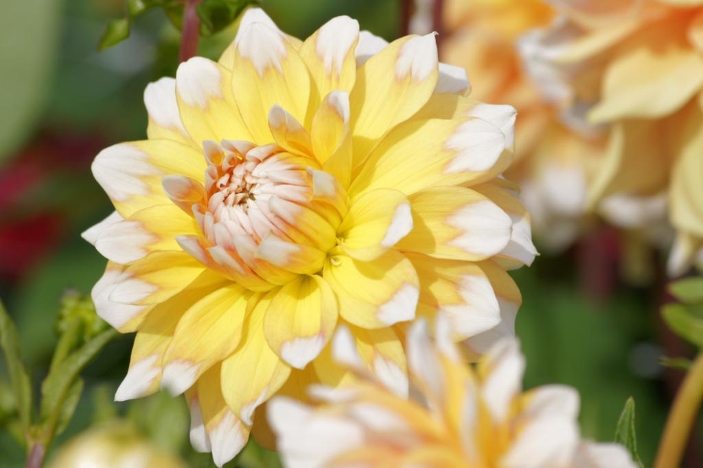 Natural Bulbs: Dahlia 'Seattle'