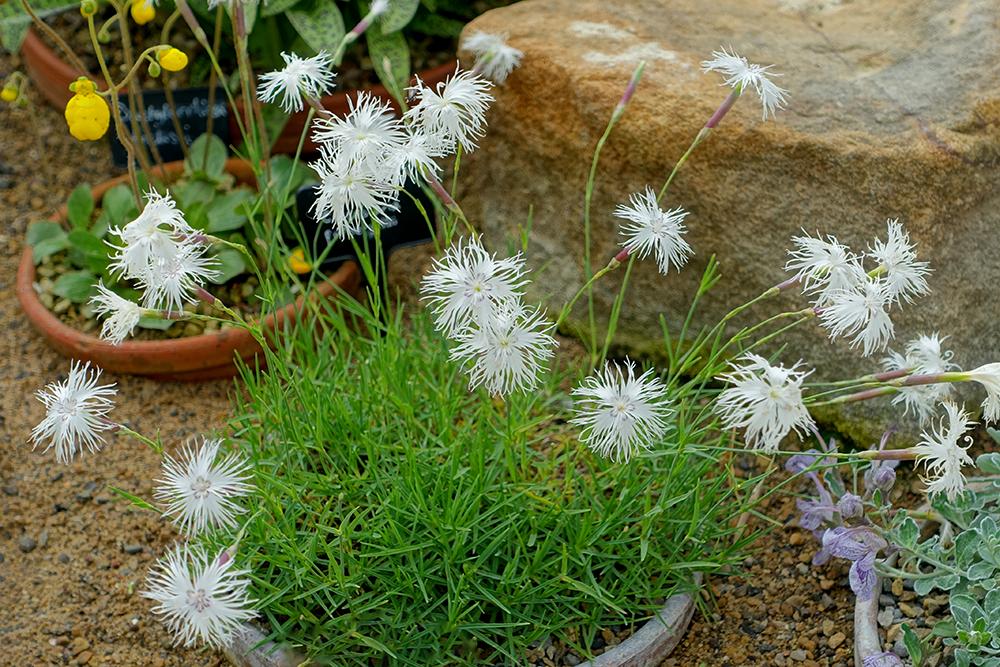 Moderne rotstuin: Dianthus squarrosus
