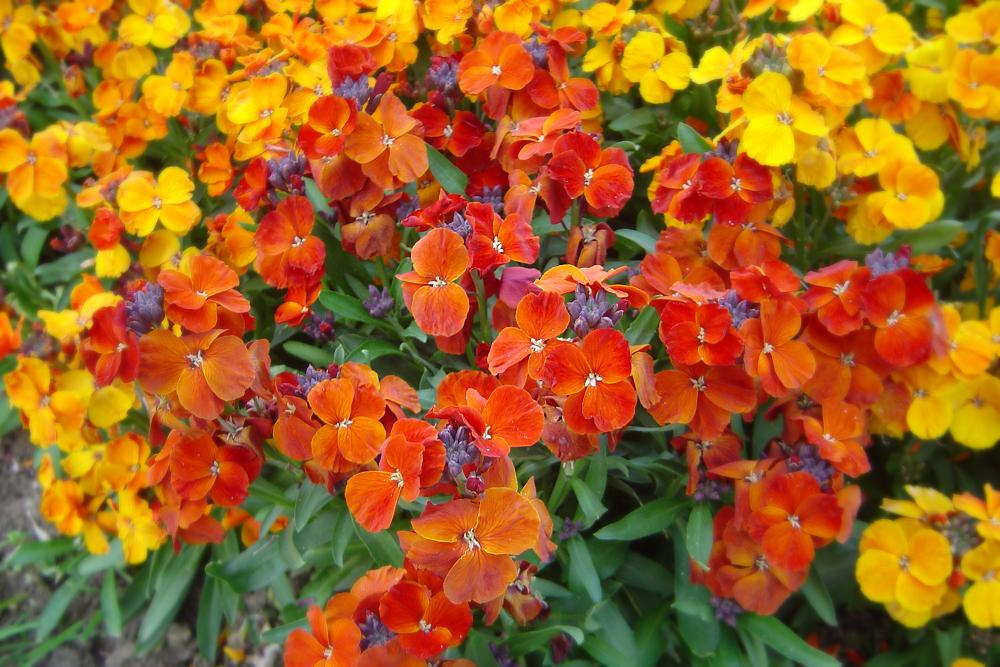 Erysimum cheiri 'Orange Bedder' (muurbloem)