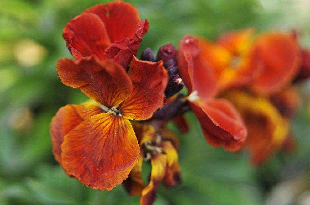 Erysimum cheiri 'Orange Bedder'