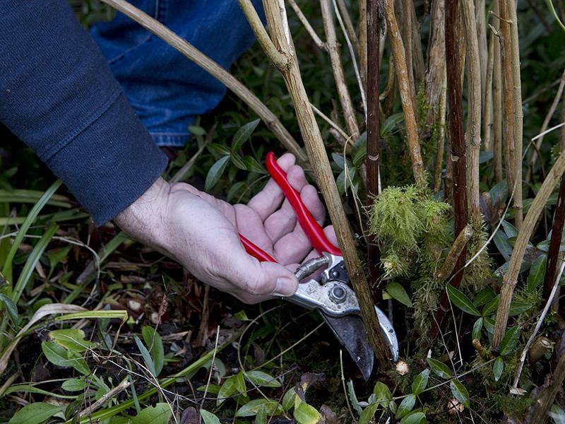 Hortensia snoeien: knip de oudste takken weg