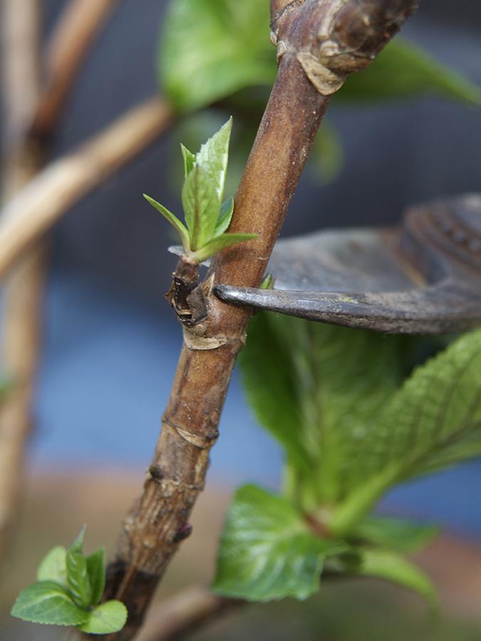 Snoei de hortensia net boven een knop