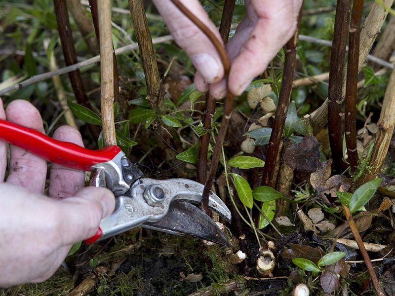 Hortensia snoeien: verwijder de twijgen