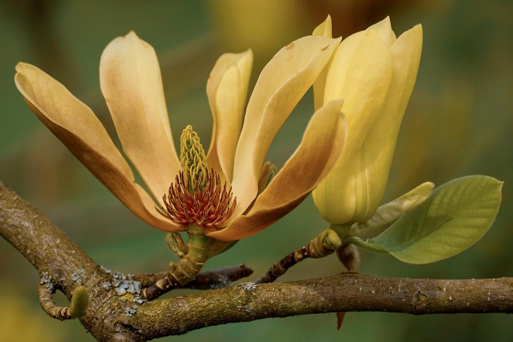 Beverboom met gele bloemen