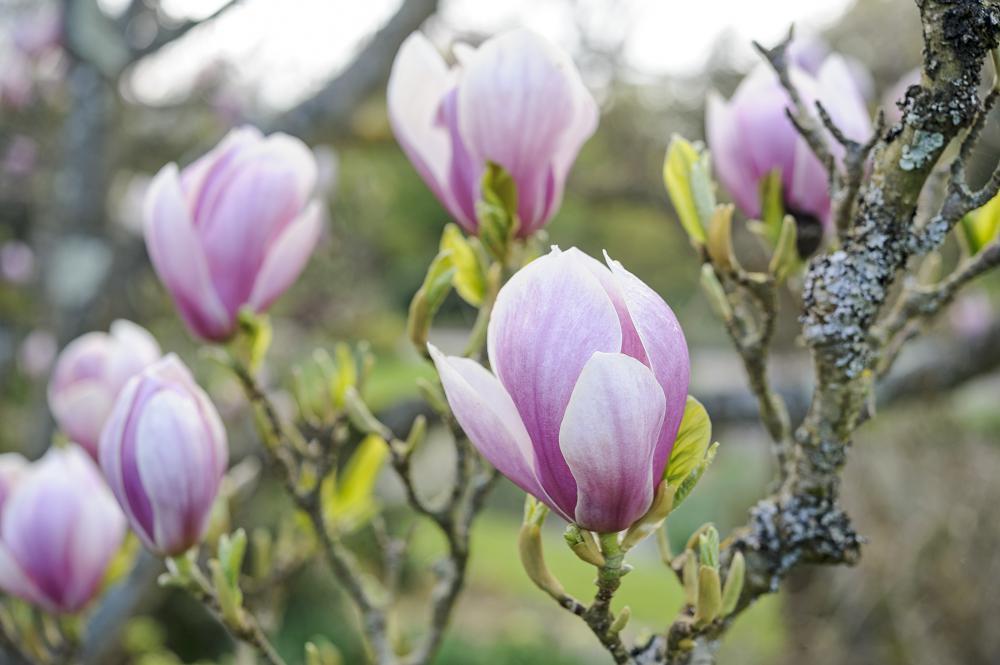 Magnolia x soulangeana 'Alexandrina'.