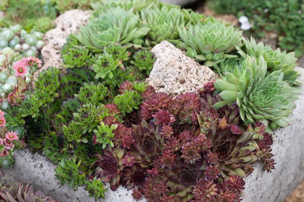 Verschillende soorten huislook (Sempervivum)