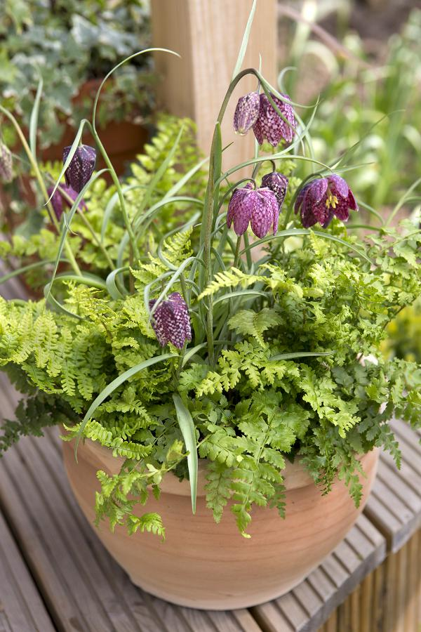 Schaduwplanten in pot: kievitsbloem en varens