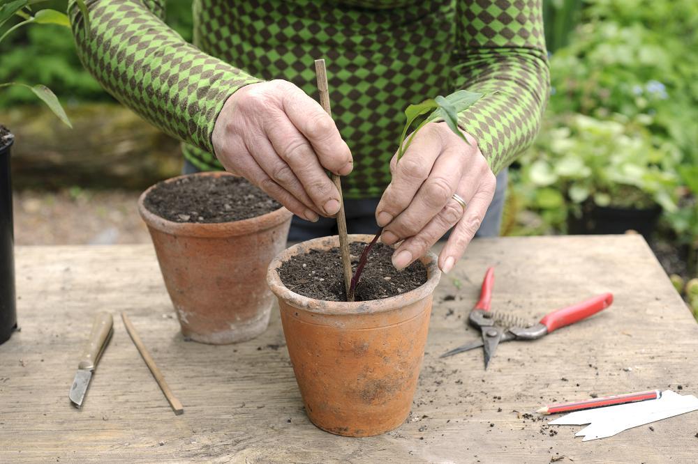 Zet de stekken van Aster 'Little Carlow' in een pot