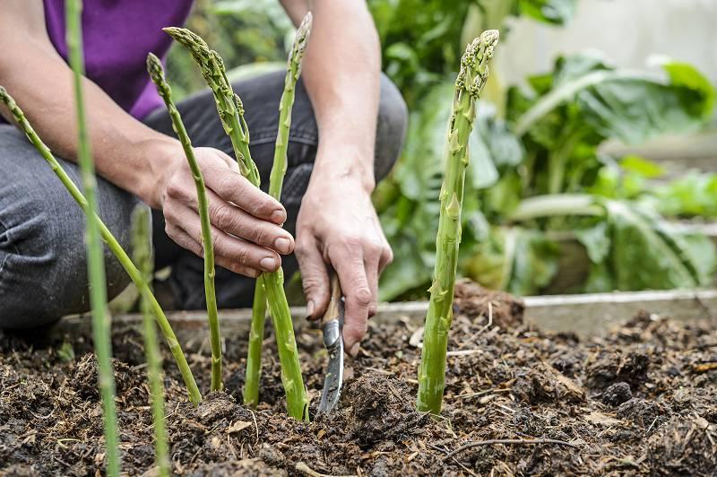 asperges kweken