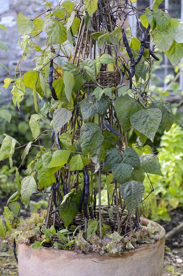Bonen kweken in pot