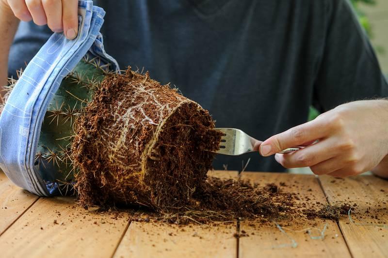Cactus verpotten: wortels controleren