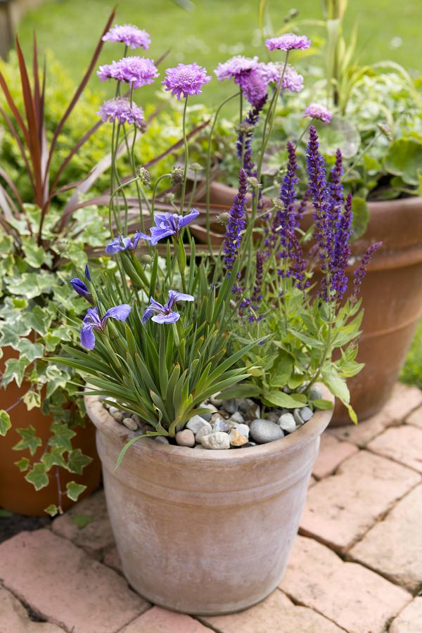 Salvia Ostfriesland combineren