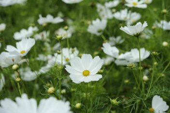 Checklist voor de tuin week 19: Cosmos bipinnatus