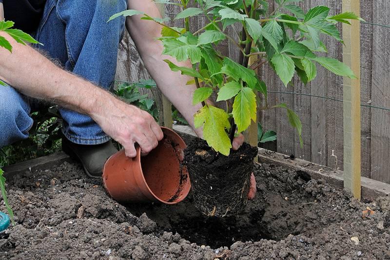 knollen uitplanten