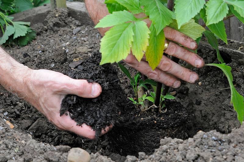 dahlia planten hoe diep