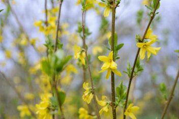 Forsythia snoeien voor meer bloemen