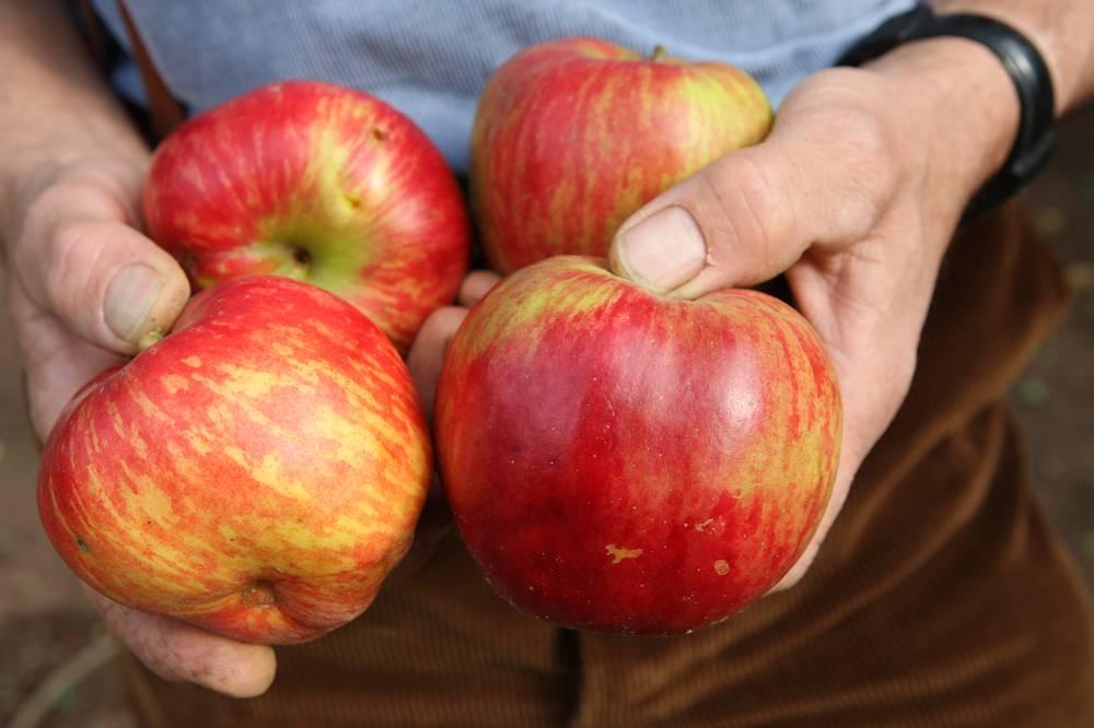 appelboom in pot