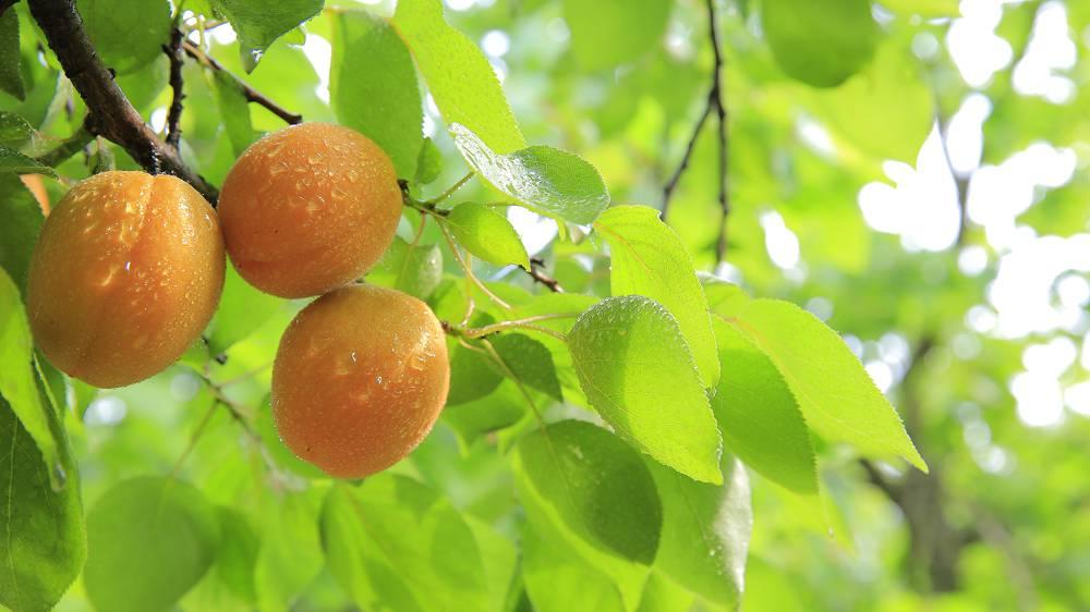 Fruit kweken op balkon: perzikboom