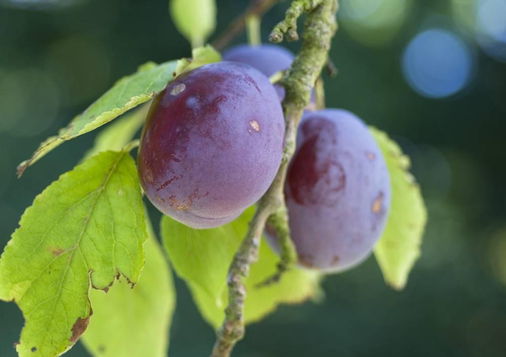 pruimenboom laagstam