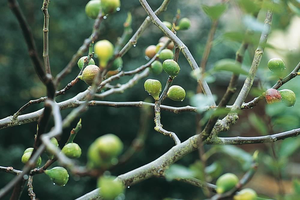 vijgenboom in pot