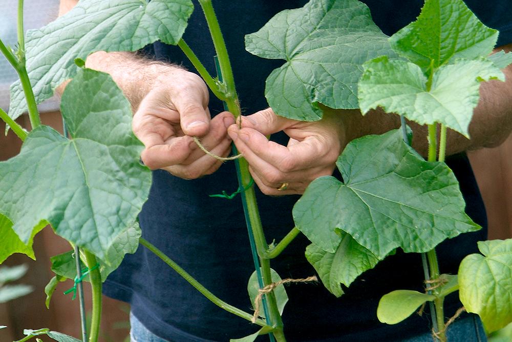 komkommer kweken in kas
