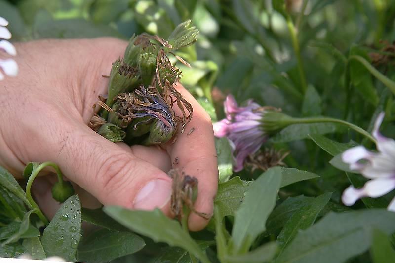 spaanse margriet uitgebloeide bloemen verwijderen