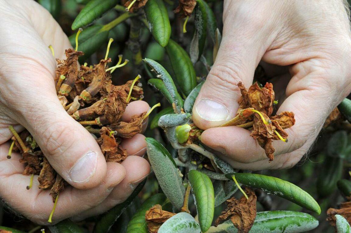 rhododendron bloemen verwijderen