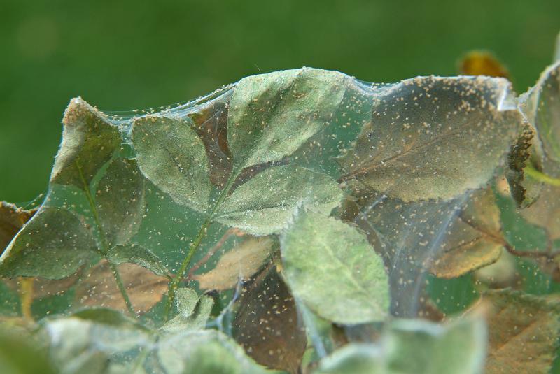 checklist voor de tuin week 18: rode spintmijt