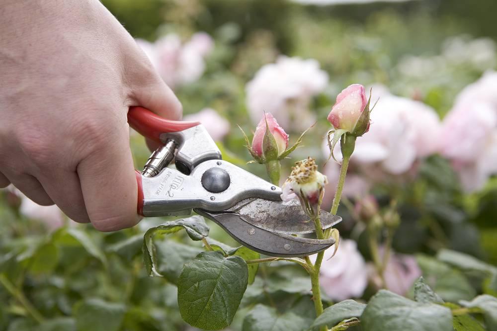 rozen uitgebloeide bloemen verwijderen