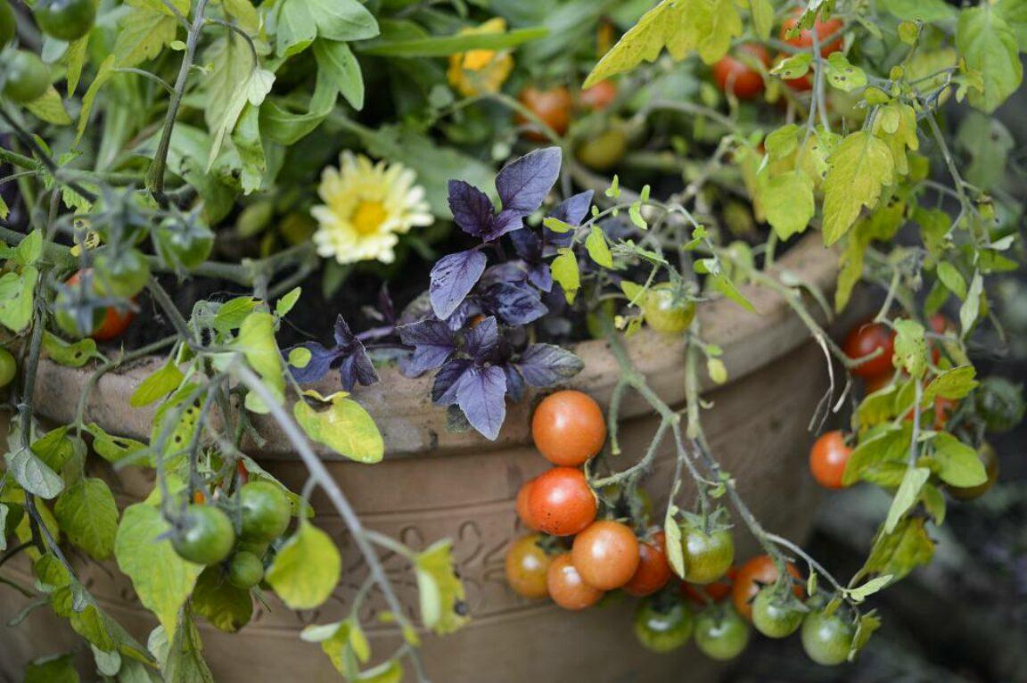 Tomaten kweken in pot