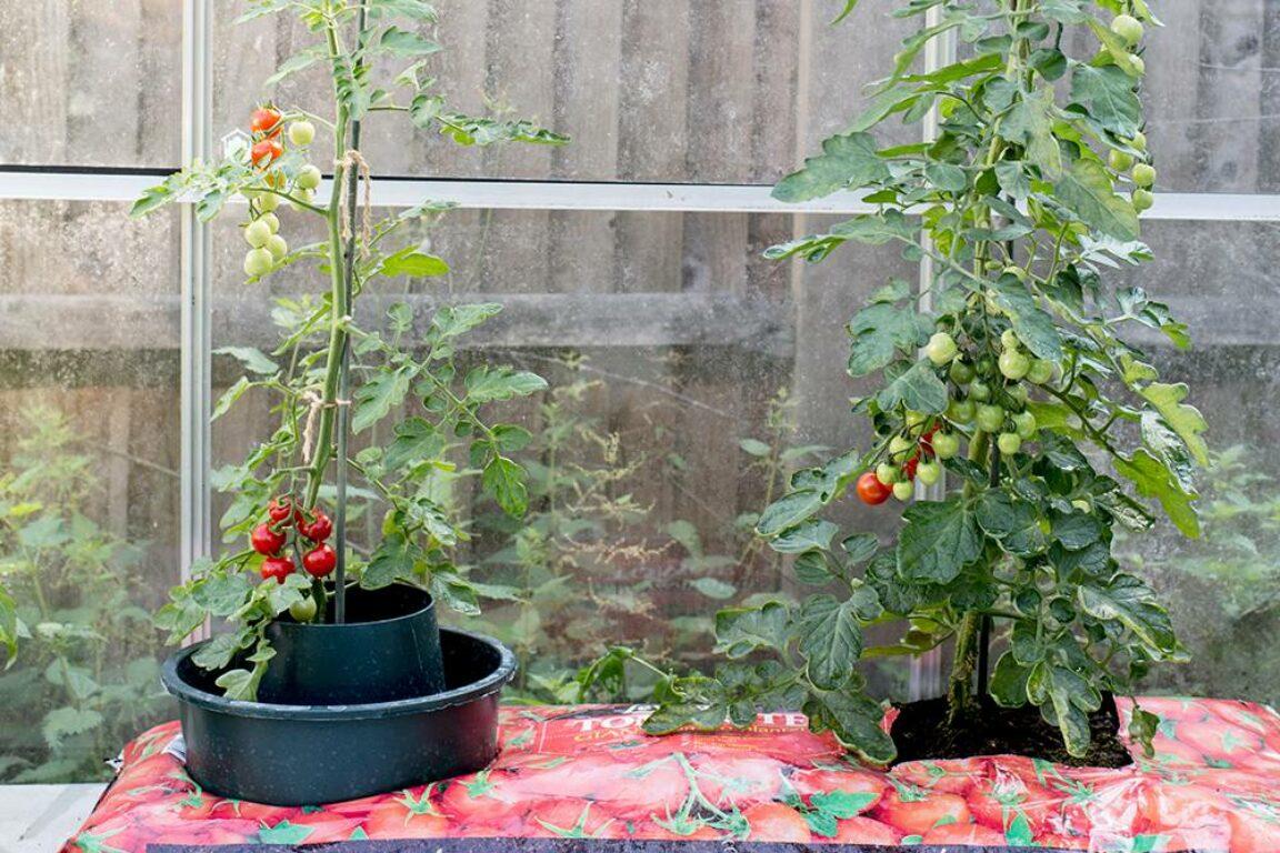 Tomaten kweken met ringcultuur