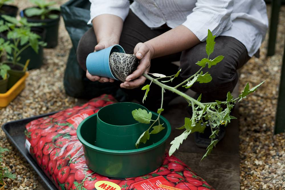 Tomaten kweken stap voor stap