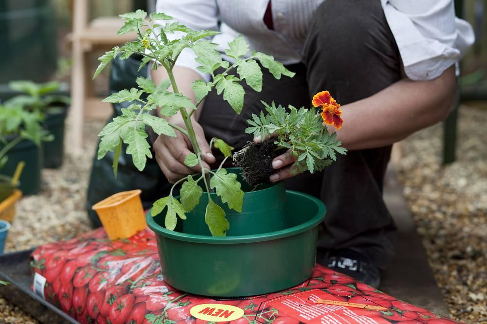 Afrikaantjes tomaat