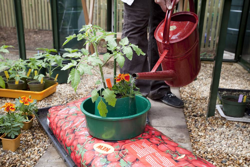 Tomatenplantjes verzorgen