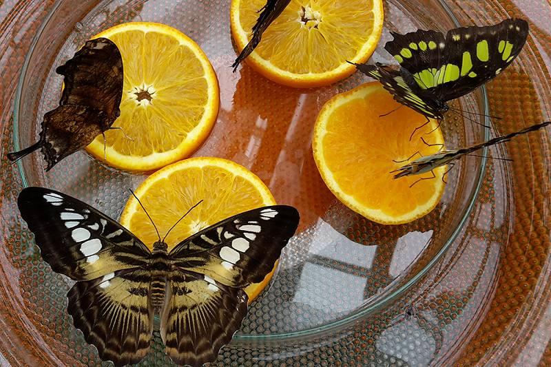 Fruitschaal voor vlinders
