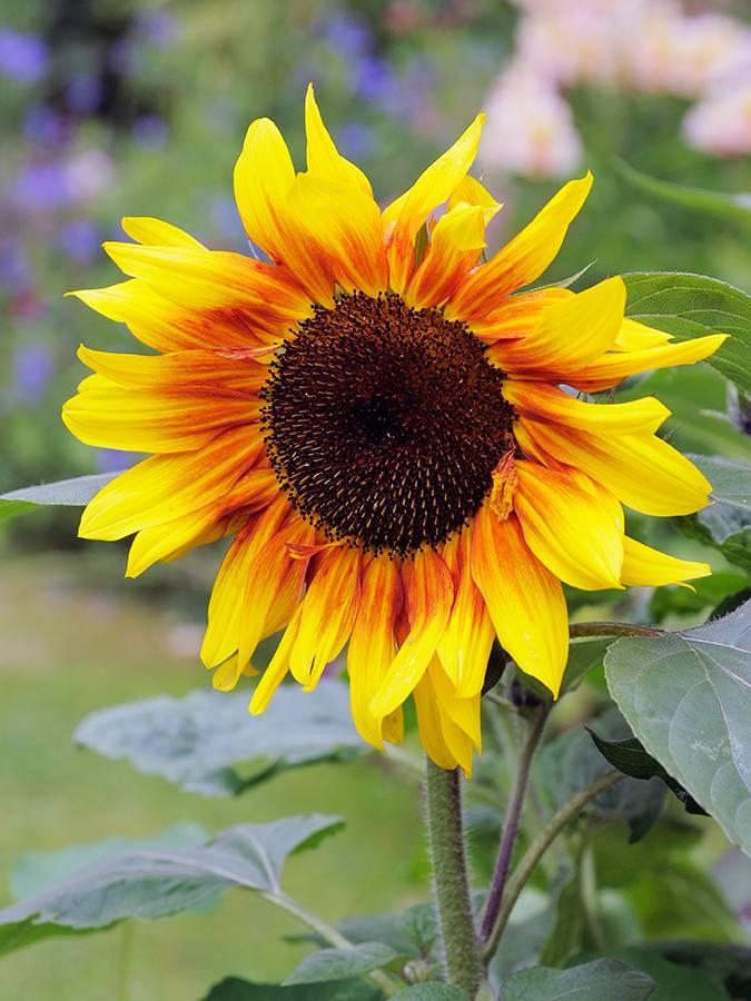 Zonnebloemen zaaien in de volle grond