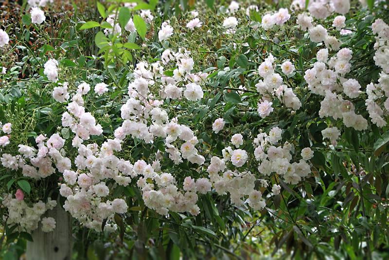 beste geurende rozen