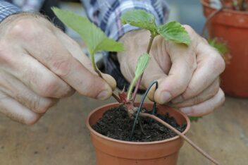 aardbeien uitlopers planten
