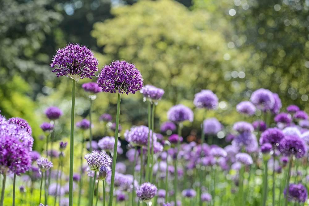 Allium 'Purple Sensation' verzorging