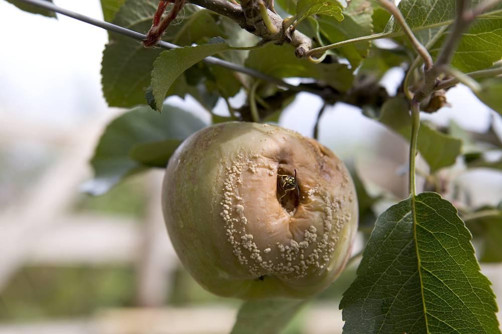 Appelboom ziektes