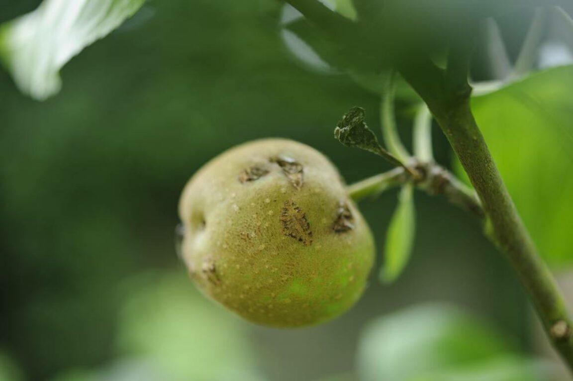 Appelschurft