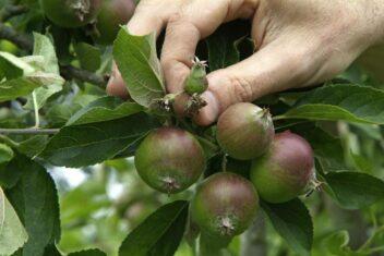 Vroegtijdig afvallen van appels