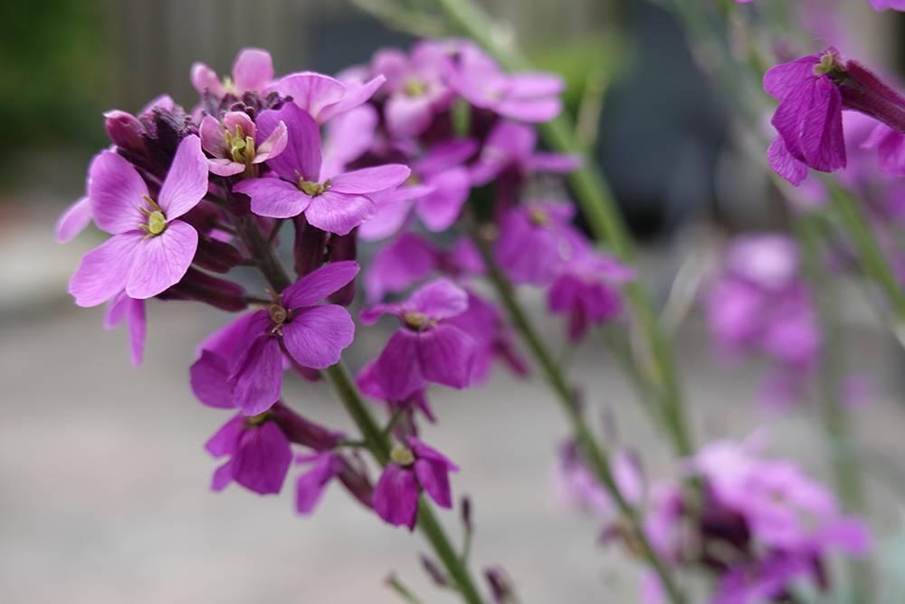 Geurende planten in de tuin