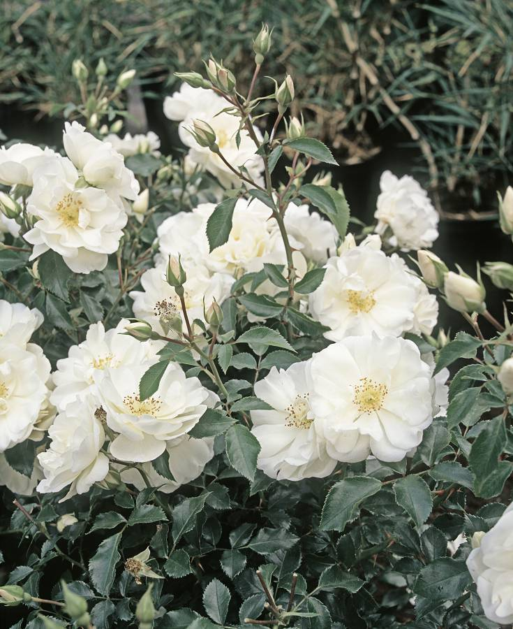 rozen als bodembedekker
