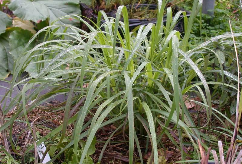 Citroengras kweken