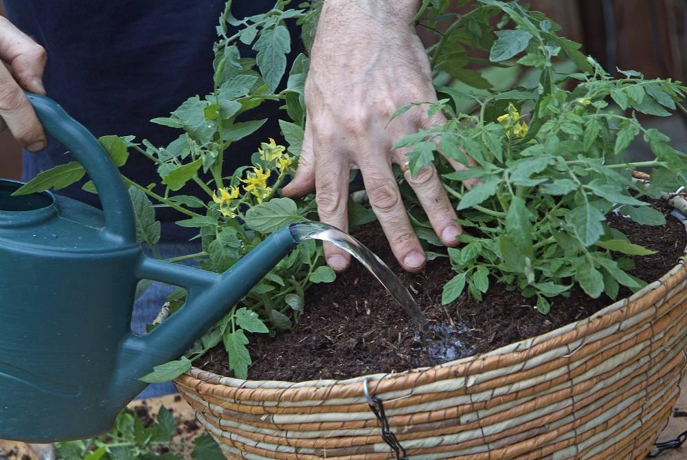 mini tomatenplant