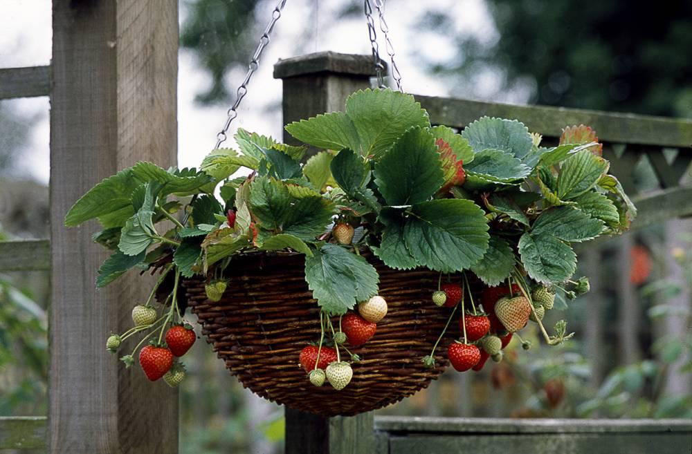 aardbeien hanging basket