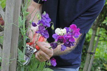 Lathyrus bloemen plukken