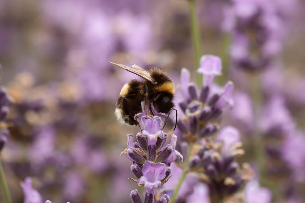 Lavendel bijen wespen